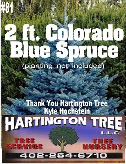 2 ft. Colorado Spruce Tree
