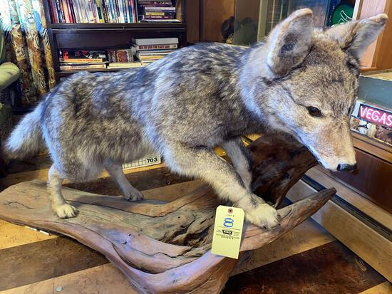 Wolf full body mount