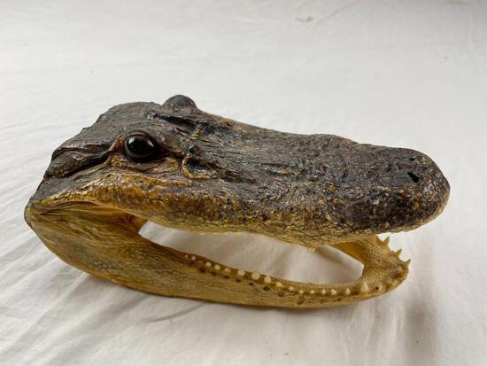 "Genuine preserved alligator head with glass eyes 8.5"""