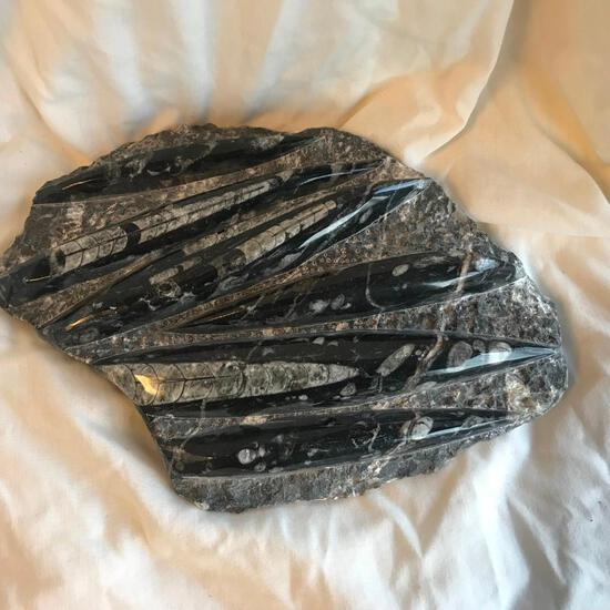Genuine Stone Stone Slab Encasing 7 Polished Orthoceras Fossils