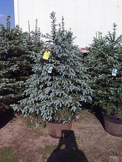 (5) Colorado Blue Spruce