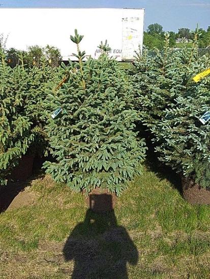 (5) Meyer Spruce
