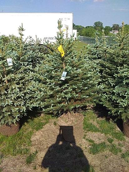 (5) Colorado Spruce