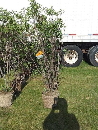 (5) Lilac Trees
