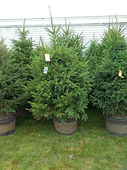 (5) Meyer Spruce Trees