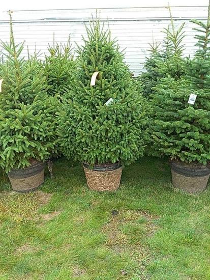 (5) Black Hills Spruce Trees