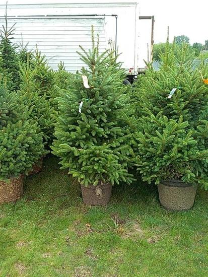 (5) Colorado Blue Spruce Trees