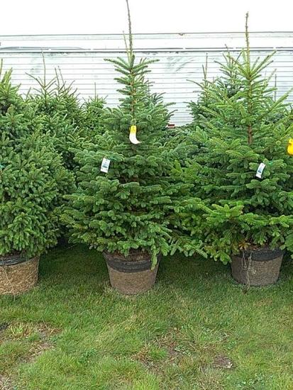 (5) Colorado Blue Spruce Trees/