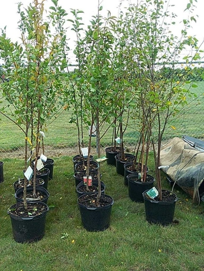 (5) Birch Trees