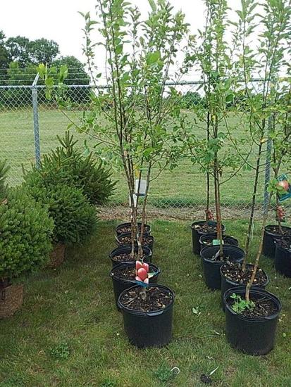 (5) Fruit Trees
