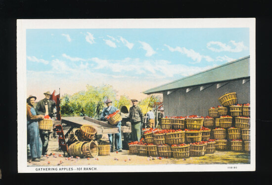 1920s Gathering Apples 101 Ranch (Miller Brothers).  SIZE:  Standard; CONDI