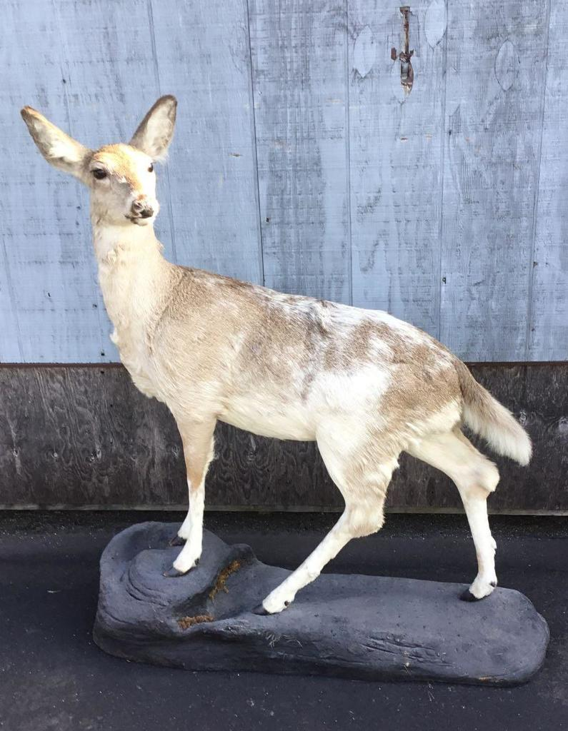 Lot: Calico Whitetail Deer Full Body Mount | Proxibid Auctions