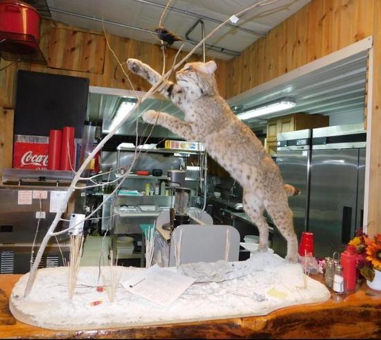 North American Bobcat taxidermy