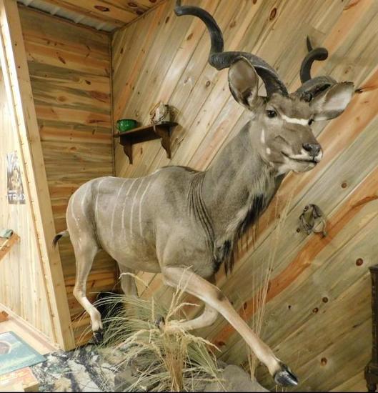 African Kudu Full mount taxidermy