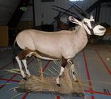 African Gemsbok full body taxidermy