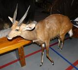 African brushbuck taxidermy