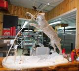North American Bobcat taxidermy