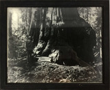 Black & White Photo Of Barbour Named Sequoia Tree