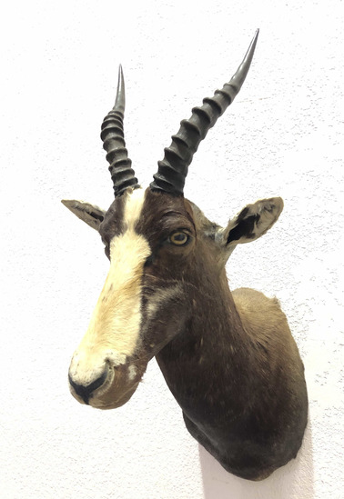 African Bontebok Antelope Shoulder Mount