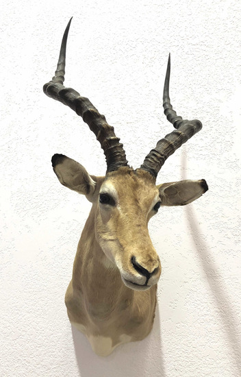 African Antelope Taxidermy Shoulder Mount