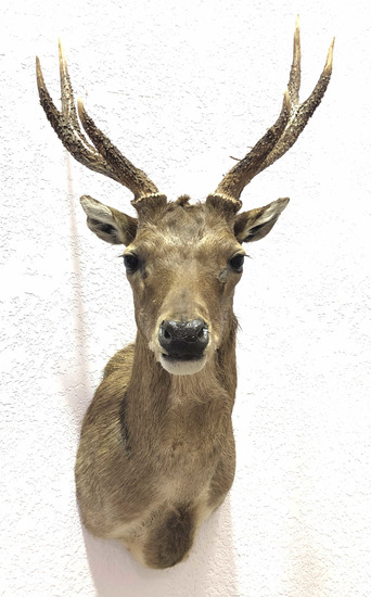 Taxidermy Deer Shoulder Mount