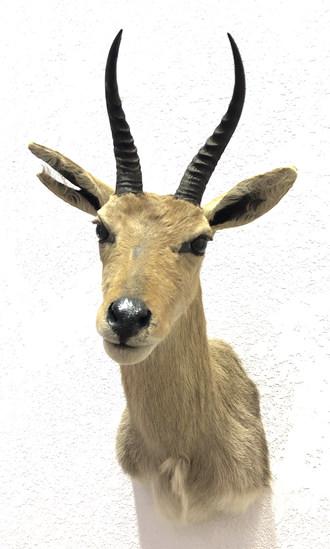 African Oribi Antelope Shoulder Mount