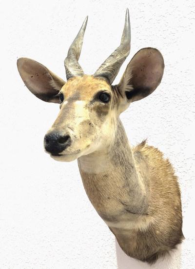 African Spiral Horned Antelope Shoulder Mount