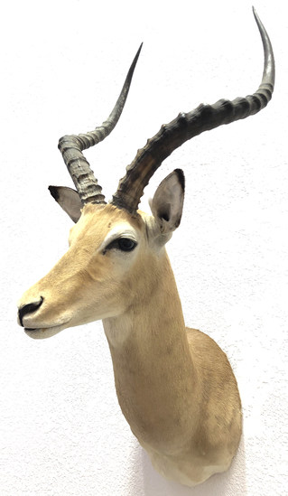 African Taxidermy Antelope Shoulder Mount