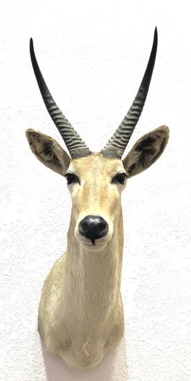 African Puku Antelope Shoulder Mount