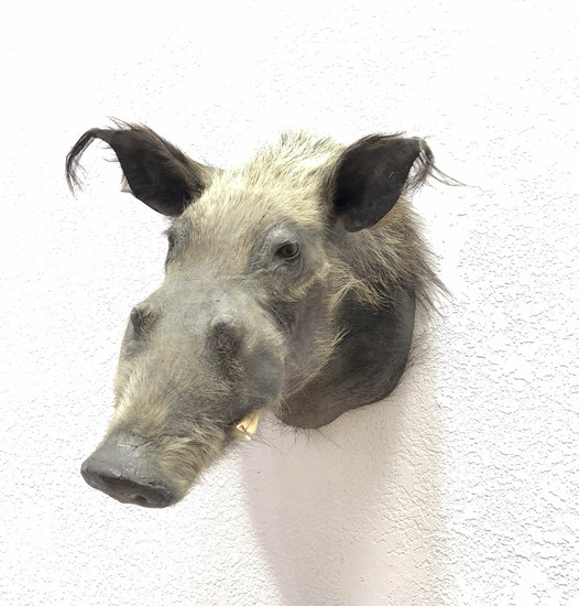 Wild Hog Taxidermy Shoulder Mount