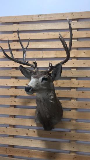Shoulder Mount Mule Deer Buck