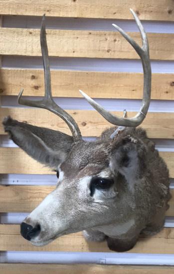 Shoulder Mount Whitetail Buck
