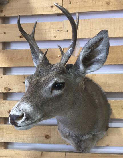 Shoulder Mount White Tail Buck