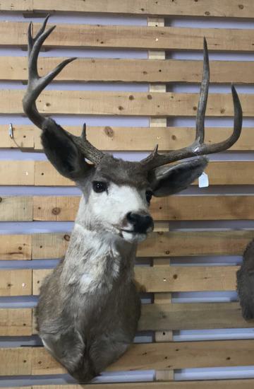 Shoulder Mount Deer