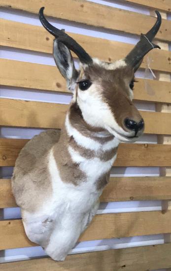 Shoulder Mount Antelope