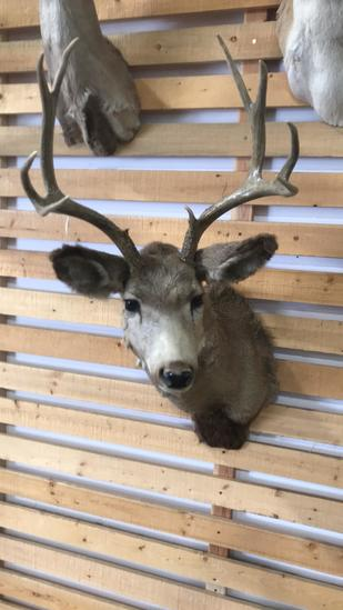 Shoulder Mountain Buck