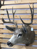 Shoulder Mount Mule Deer