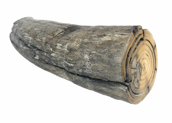 Petrified Wooly Mammoth Tusk Section